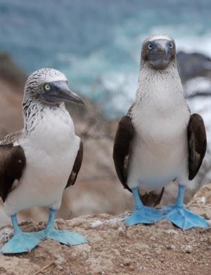 http://4.bp.blogspot.com/-lqCmT5xWYps/Thb5UigpaMI/AAAAAAAAARs/UbSzTpHg8kk/s400/blue-footed-boobies.jpg