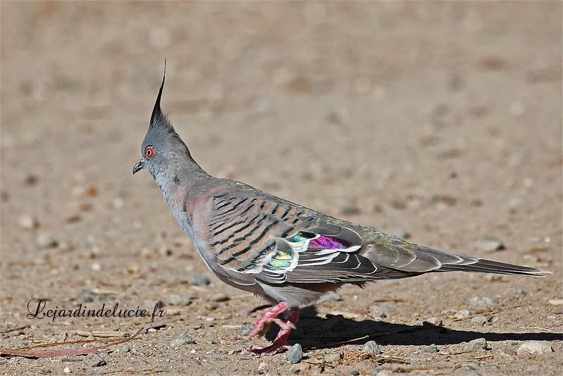 Un pigeon cr te la colombine longup ou colombe lophote for Houpette oiseau