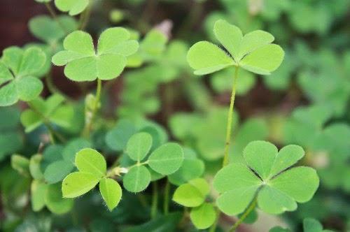 khasiat daun semanggi gunung