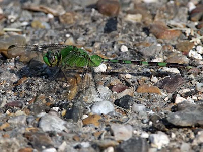 Great Pondhawk Dragonfly
