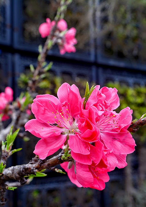 Atlanta Blooms! 2015 | Atlanta Botanical Garden
