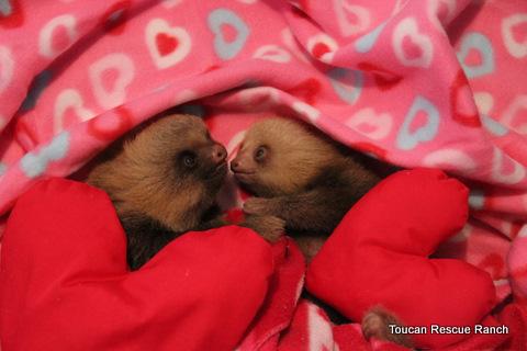 Schön Happy Valentine Sloths!