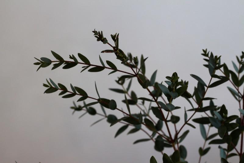 Eukalyptuksen oksat