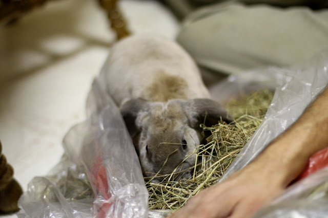 Velveteen rabbits LOVE hay!