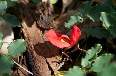 Coral Vine (Kennedia coccinea)