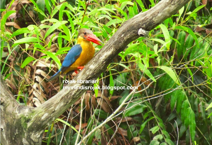 Stork-billed Kingfisher in Tampines Eco Green