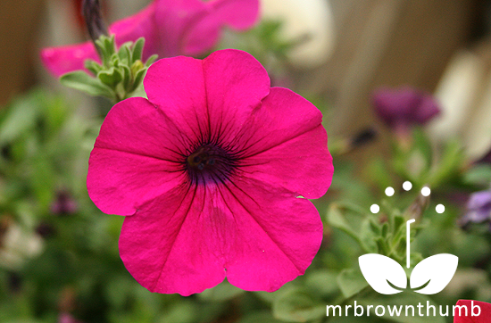 Easy Wave Neon Rose Petunia, Ball Hort