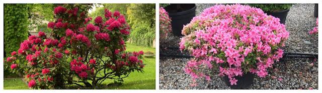 Progettare spazi verdi rododendri e azalee come for Progettare spazi verdi