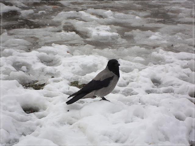 vrana u snijegu