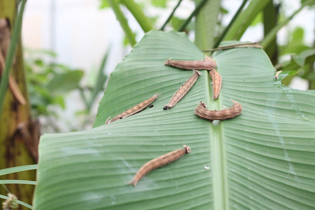 caterpillars on a leaf at Wye Valley Butterfly Zoo