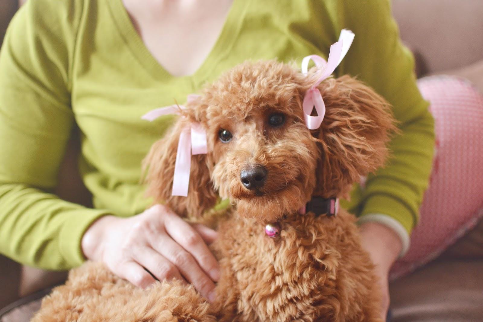 miniature poodle hair cut