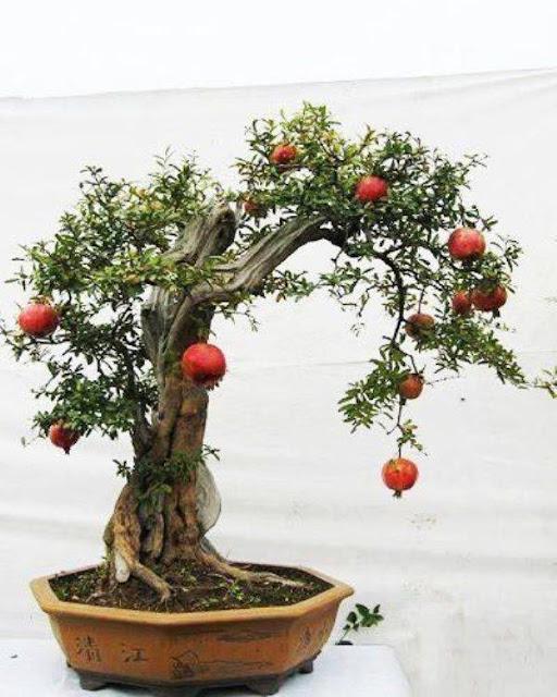 pohon bonsai buah yang menarik dan unik-8
