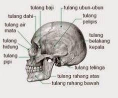 Tulang tengkorak dilihat dari samping