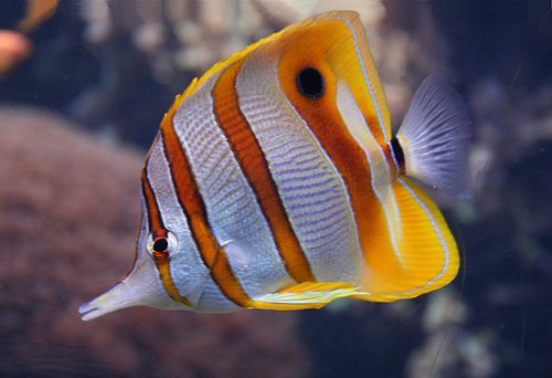 Butterfly fish fishes for Freshwater butterfly fish