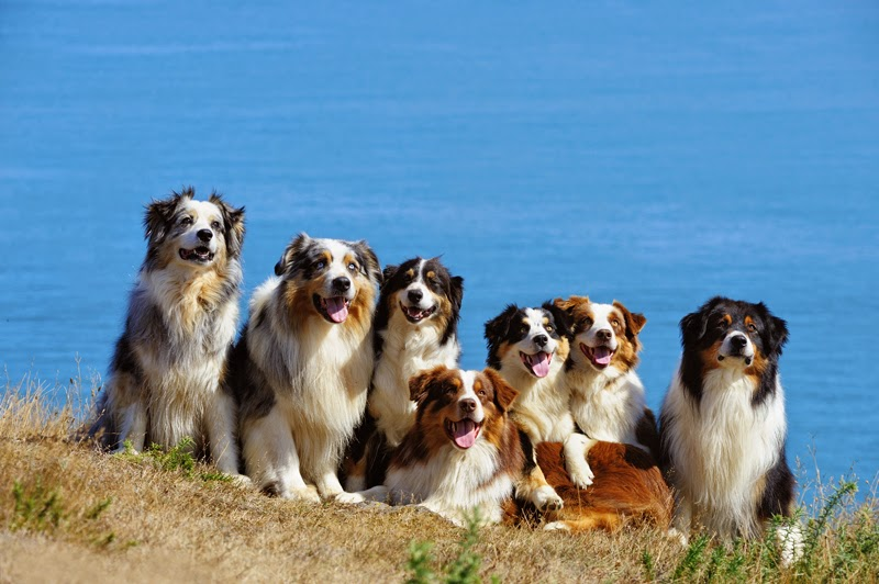 7 Australian Shepherd dogs pose for a photo by the sea