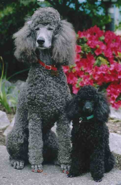 Size and Weight of Poodle Dog