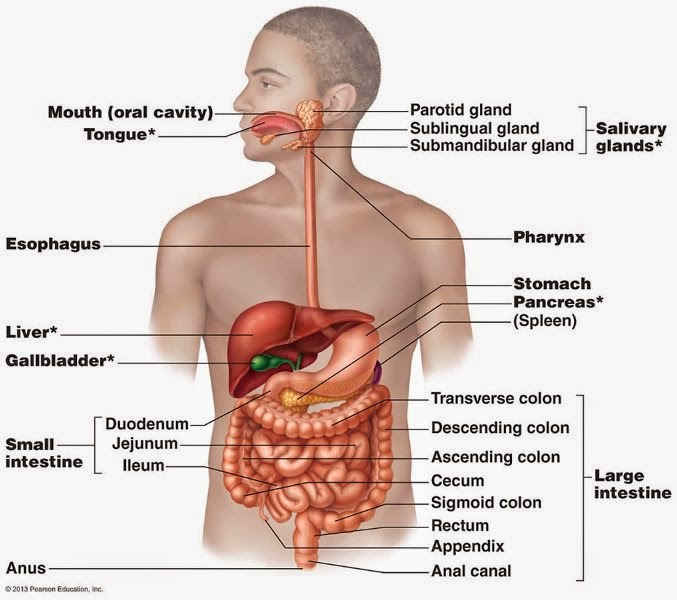 labeled diagram of the digestive system anatomy picture  : diagram of anatomy - findchart.co