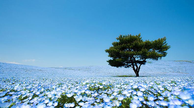 Fascinante campos de flores azules en el Parque Costero Hitachi en Japón