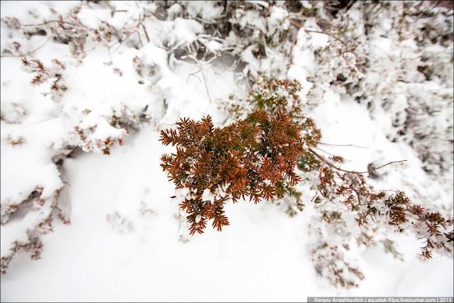 Одинокая ветка можжевельника, будто протягивающая руку из-под снега