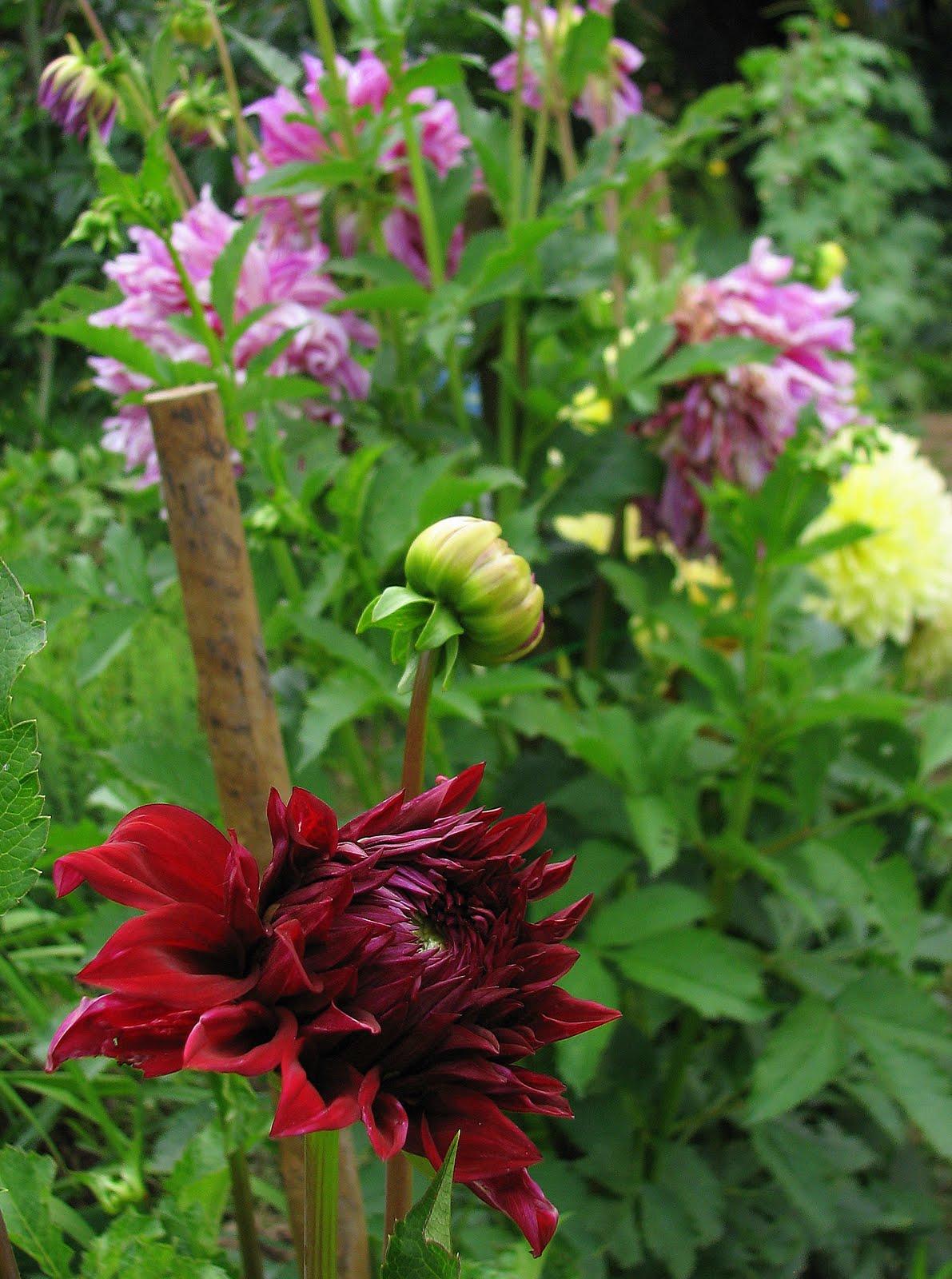 L 39 orto dei colori frutti di giugno - Dalia pianta ...