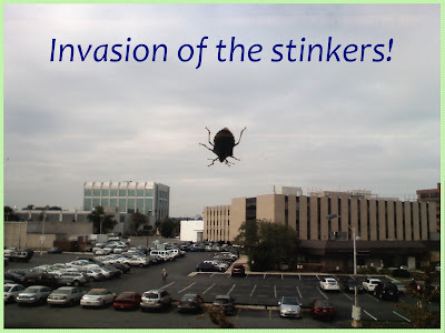 Brown Marmorated Stink Bug Halyomorpha halys