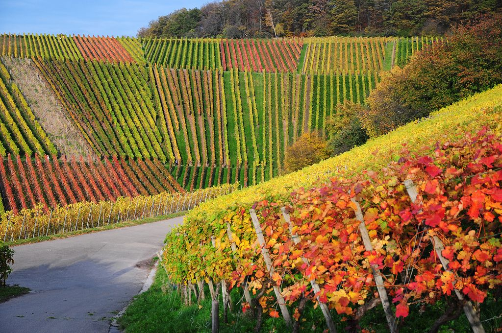11. Vineyard