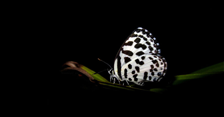 Dalmation Butterfly