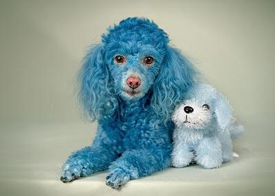Blue Poodle Dog 2012