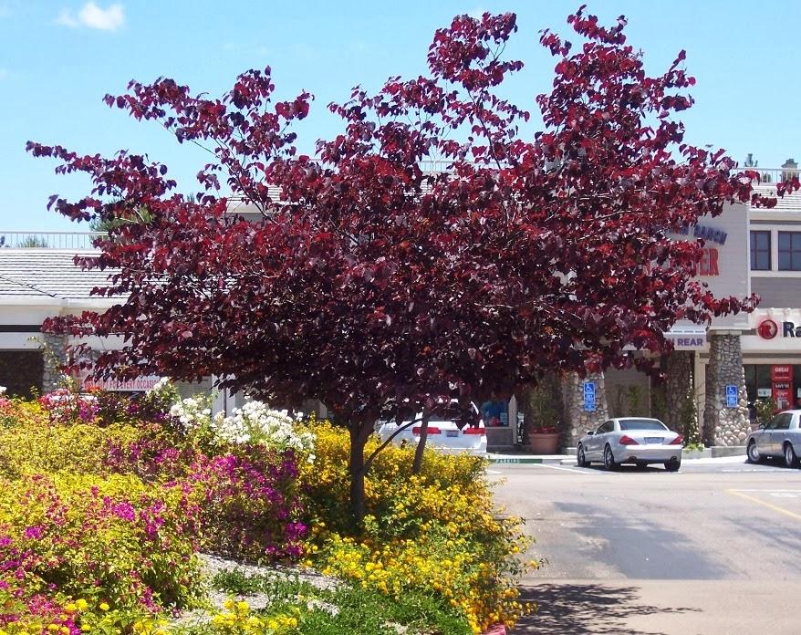 the 2 minute gardener photo forest pansy redbud cercis. Black Bedroom Furniture Sets. Home Design Ideas