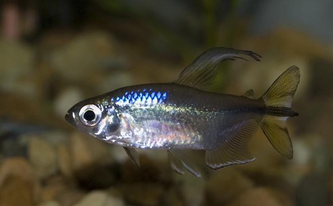 Fish Profile of the Week  Yellow tail Congo TetraYellow Tetra Fish