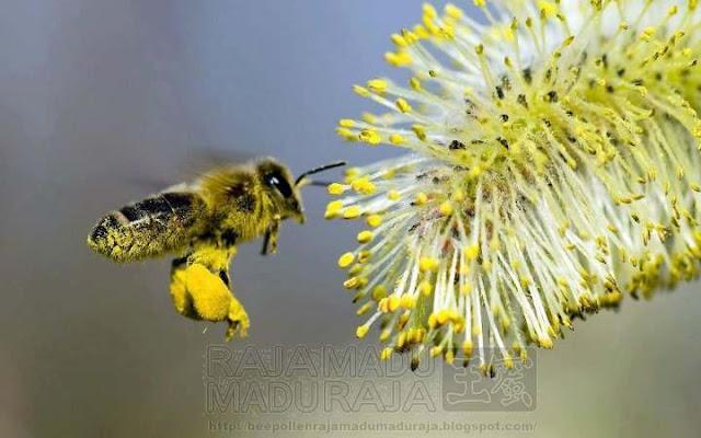 lebah Raja Madu Madu Raja membawa Bee Pollen