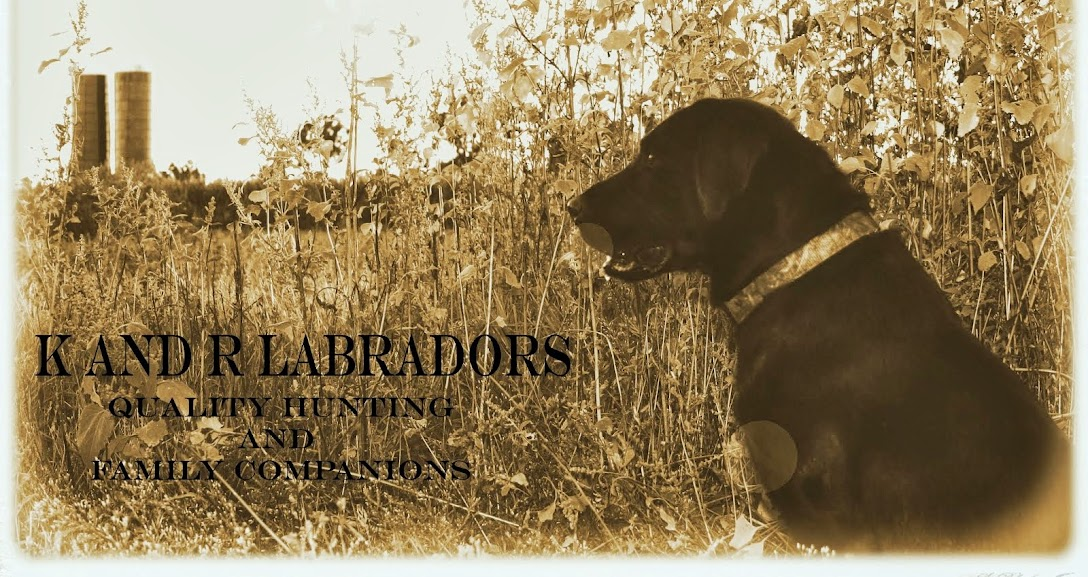 K and R Labradors