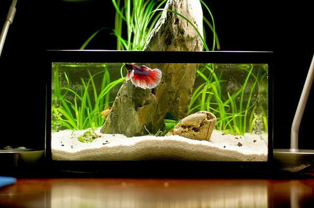 All about betta fish lavender dumbo betta fish in planted for Betta fish tank size