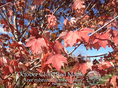 October Glory Red Maple Autumn Color