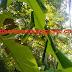 Pakan Ternak Budidaya Kroto Semut Rangrang