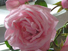 A Hurdal Rose