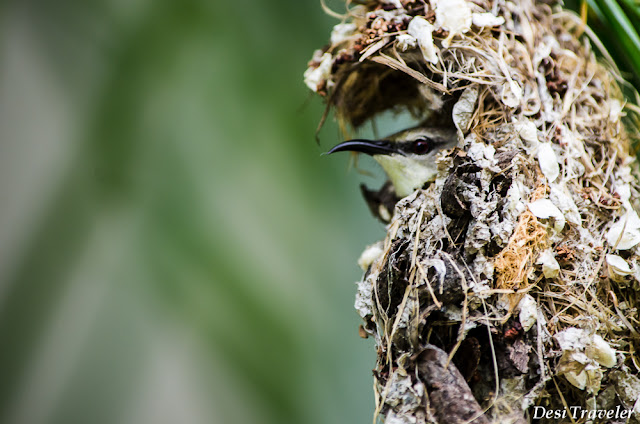 purple sunbird guarding nest at Taramati Baradari