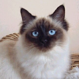 Ragdoll Cat Breed Pictures