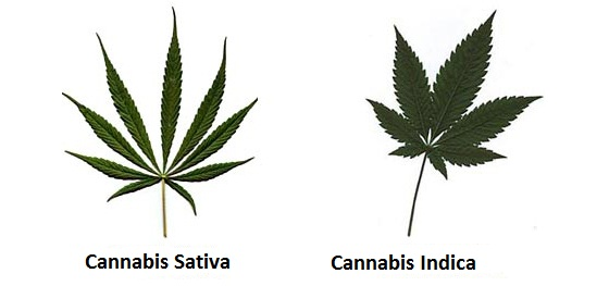 Cannabis Sativa - Cannabis Indica