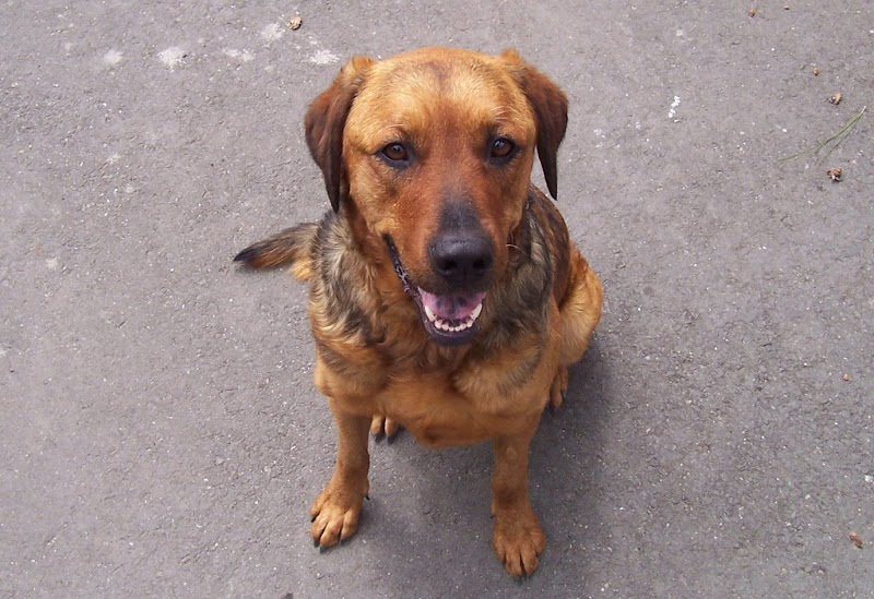 cute face of a medium brown dog with dark brown eyes, mouth open in a slight smile, fur is a mottled black, brown and tan confusion