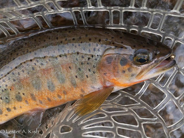 A hybrid rainbow and cutthroat trout from Montana