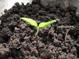 1 апреля, росток помидора