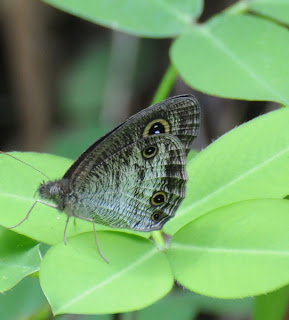 Common Three Ring (Ypthima pandocus)