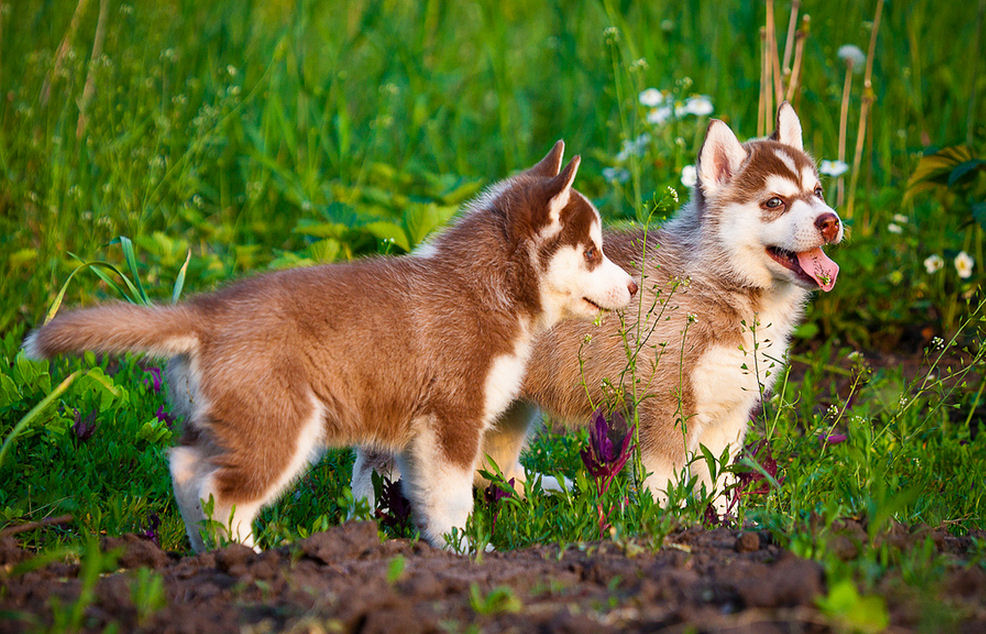 Cachorros Husky Siberianos jugando en el Jardín