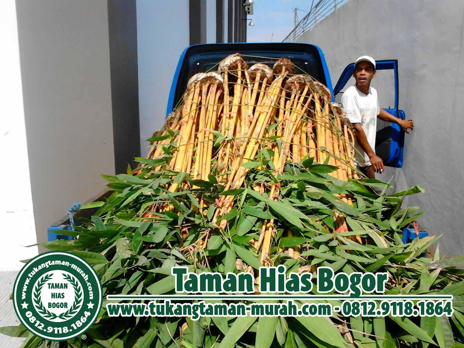 Jual Pohon Bambu Kuning Hias Tanaman Pagar Hidup Biji Rumput Kamis 03 September 2015