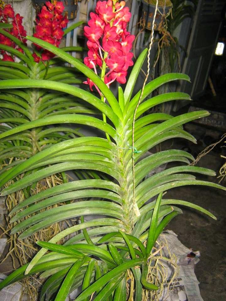Hoa lan Asco màu đỏ và có huơng thơm dịu nhẹ