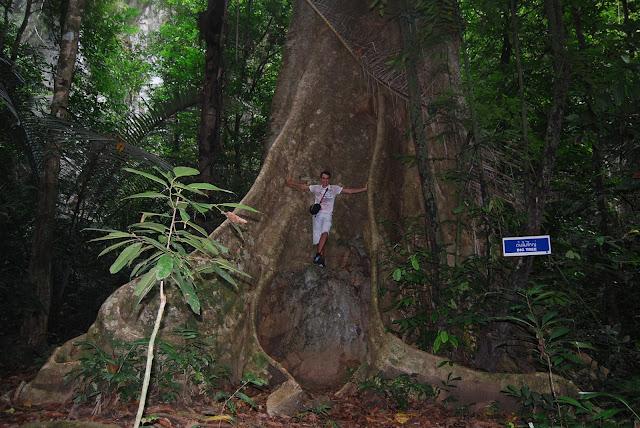 Огромнейшее дерево в парке рядом с Tiger Cave Temple, Krabi, Thailand.