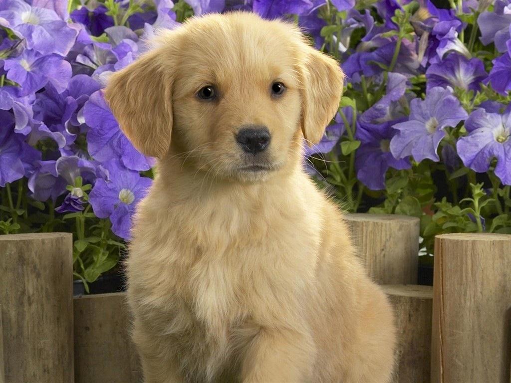 ABC Animais: Golden Retriever Filhote - Fundo de Flores Roxas