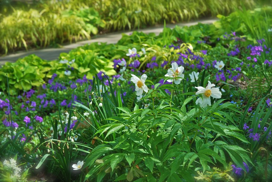 Paeonia emodi, or Himalayan peony, naturally grows in the Himalayan mountains. Here in the Oak Bed, it has a much more comfortable setting, surrounded by Phlox stolonifera 'Sherwood Purple', Hosta 'Emerald Tiara' and Japanese forest grass (Hakonechloa aureola).