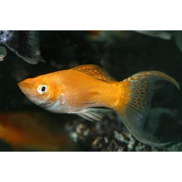 Black Molly Fish Male Or Female Black Molly Fish Male Or Female